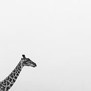 Giraffe (Giraffa camelopardalis), Ngorongoro Conservation Area, Tanzania, East Africa