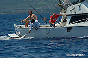 crew member bills Pacific blue marlin, Makaira nigricans or Makaira mazara,  caught during the Hawaii International Billfish Tournament, Kailua Kona, Hawaii ( Central Pacific Ocean )