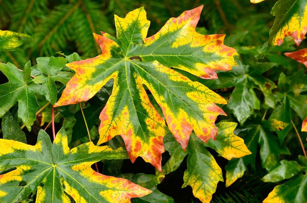 Bigleaf maple leaves, Cascade Range, Oregon.