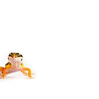 Juvenile high-yellow morph leopard gecko female on white backdrop