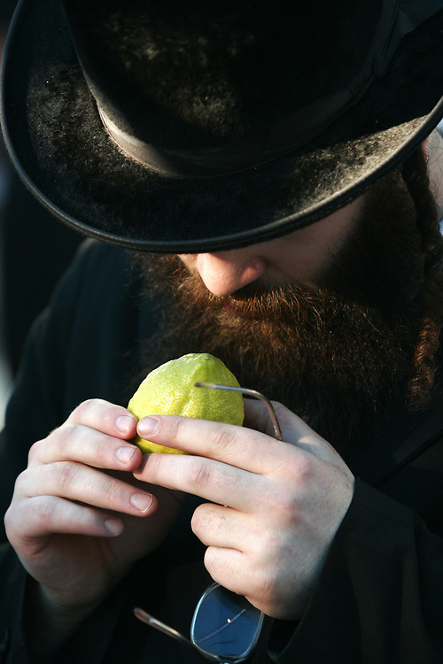 An Ultra Orthodox Jewish man inspects an Etrog (the fruit of a citron tree), one of the Four Species which will be used during the celebration of the Sukkot (Tabernacles) holiday, in Jerusalem, on September 24, 2007. The word Sukkot is the plural of the Hebrew word sukkah, meaning booth or hut. The sukkah is reminiscent of the type of thatched huts in which the ancient Israelites dwelt during their 40 years of wandering in the desert after the Exodus from Egypt. Throughout the holiday, meals are eaten in the sukkah, and some families sleep there and a blessing is recited every day over the Four Species.
