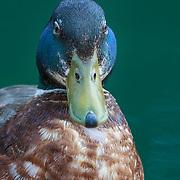 Portrait of mallard drake sporting breeding plumage and green beak coloration in spring.