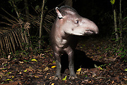 Brazilian Tapir, Tapirus terrestris, at night in rainforest, Manu, Peru, jungle, Amazonia, vunerable.