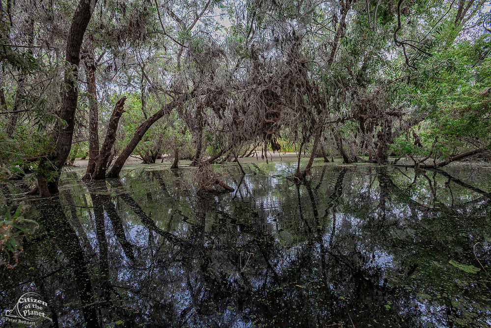 Black and Arroyo Willow Trees. Madrona Marsh Wetlands is a vernal freshwater marsh and is approximately 43 acres. torrance, California, USA