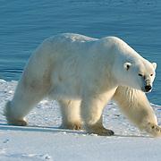 Polar Bear male wandering at Cape Churchill on the shores of Hudson Bay near Churchill, Manitoba, Canada.