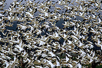 Flock of Snow (Chen caerulescens) and Ross's geese (Chen rossii).  Lower Klamath National Wildlife Refuge, CA.  Mar 04.