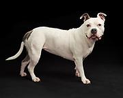 Sasha in the studio for a pet portrait. Pet photography of Pitbull.