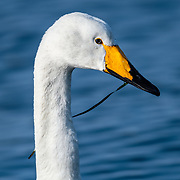 Whooper swan (Cygnus cygnus) in Hokkaido wintering grounds eating seagrass that it grabbed while wading in a shallow bay