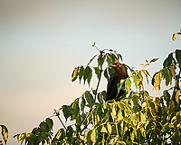 Ameerican Crow. Image taken with a Nikon D3s camera and 600 mm f/4 VR lens.