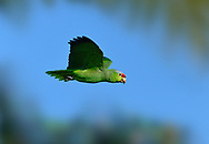 Lilac-crowned Parrot - Amazona finschi