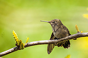 Anna's Hummingbird at rest.  Perched on the branch of a honey locust tree.