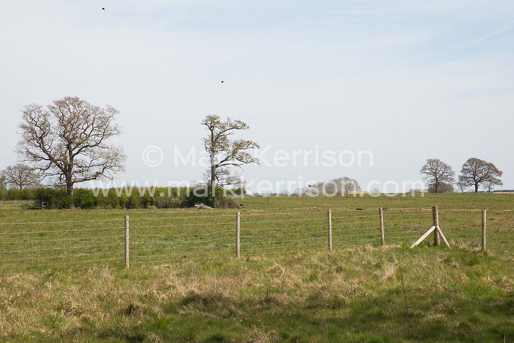 Four mature oak trees expected to be felled imminently for the HS2 high-speed rail link are pictured on 26th April 2021 in Quainton, United Kingdom. Environmental activists continue to oppose the controversial HS2 project from a series of protection camps along its Phase 1 route between London and Birmingham.