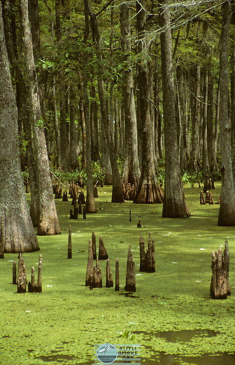 Bayou landscapes from Louisiana, USA featuring Spring water lilies in the Cypress tree swamp with the knees of the Cypress trees coming out of the swamp. Bayous of southern Louisiana with Cypress trees Bayous of Southern Louisiana