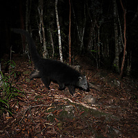 The binturong (Arctictis binturong), also known as bearcat, is a viverrid native to South and Southeast Asia. <br /> <br /> Although called 'bearcat', this omnivorous mammal is neither related to bears nor cats but to the palm civets of Asia. It is a monotypic genus.