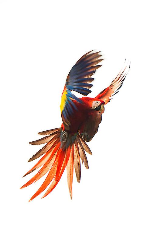 Wild Scarlet McCaw on the coast of Costa Rica
