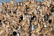 Large group of WIllets and Marbled Godwits.(Catoptrophorus semipalmatus & Limosa fedoa).Back Bay Reserve, California