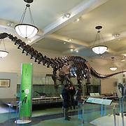 Tetanuran Dinosaur Fossils In American Museum Of Natural History, New York