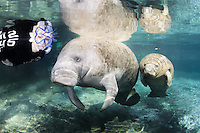 Florida manatee, Trichechus manatus latirostris, a subspecies of the West Indian manatee, endangered. A female snorkeler is observing a manatee mother and calf on a cool Florida day. The manatees are calm and the mother seems to be interested in the admiration of her little calf. Facing forward towards viewer. Horizontal orientation and polite, passive observation. Three Sisters Springs, Crystal River National Wildlife Refuge, Kings Bay, Crystal River, Citrus County, Florida USA.