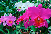 Orchid, Hawaii<br />