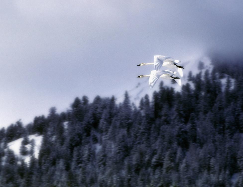 Trumperter swans, winter, Grand Teton NAtional Park, Wyoming, USA