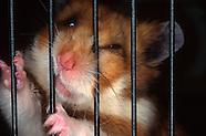 FEATURE: Rebels in the Wheel - Golden Hamsters