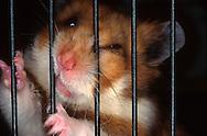 Deutschland, DEU, Cuxhaven: Wütender Goldhamster (Mesocricetus auratus) beißt in die Gitterstäbe seines Käfigs.   Germany, DEU, Cuxhaven: Angry Golden Hamster (Mesocricetus auratus) biting bars of its cage.  