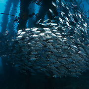 Large school of bigeye scad schooling under the main wharf at Samarai Island in Milne Bay, Papua New Guinea