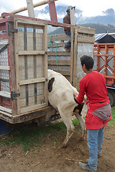 Cows Being Moved, Otovalo Market