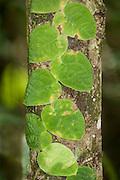 Vine leaf growing up tree trunk, Panama, Central America, Gamboa Reserve, Parque Nacional Soberania