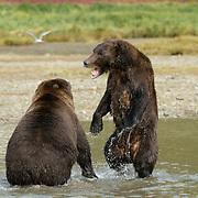 Alaskan Brown Bear, (Ursus middendorffi) Confrontation. Katmai National Park. Alaska