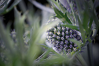 Eryngium bloom.