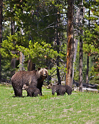 Grizzly Bear #399 and cubs, Grand Teton National Park, Jackson Hole, Wyoming<br /> <br /> Contact for custom print options or inquiries about stock usage  - dh@theholepicture.com