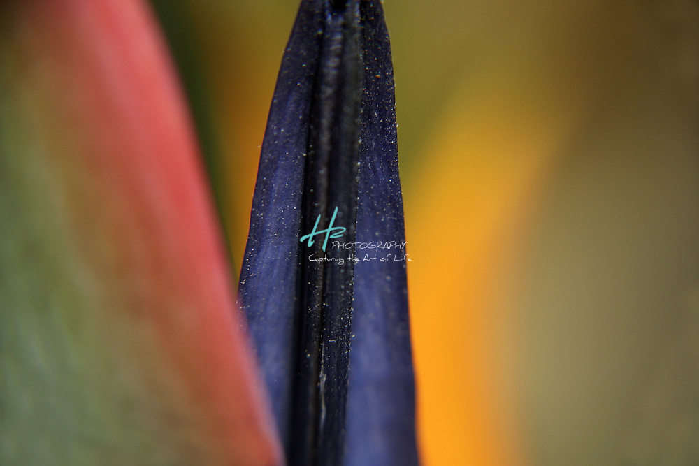 Subject: Bird of Paradise (Strelitzia).Habitat:  A native of South Africa.Location: Santa Barbara, CA.Magnification:  1:1.
