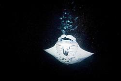 reef manta ray or coastal manta, Manta alfredi, and Hawaiian Flagtail, or Aholehole in Hawaiian, Kuhlia sandvicensis, endemic to Hawaii, feeding on plankton at night, off Kona Coast, Big Island, Hawaii, Pacific Ocean