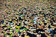 Autumn leaves on watersurface.