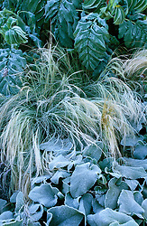 The frosted foliage of Stipa tenuissima , Melianthus major and Phlomis at Castelnau