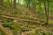 Carolinina forest in spring<br />Vineland<br />Ontario<br />Canada