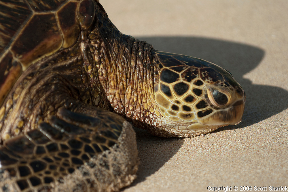 A closeup of a Hawaiian Green Sea Turtle on the North Shore of Oahu.