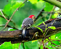 Red-bellied Woodpecker. Image taken with a Fuji X-T3 camera and 200 mm f/2 OIS lens + 1.4x teleconverter.