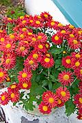 Pot of beautiful crimson flowers.  St Paul  Minnesota USA