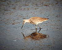Willet. Biolab Road, Merritt Island National Wildlife Refuge. Image taken with a Nikon D3x camera and 300 mm f/4 lens (ISO 280, 300 mm, f/4, 1/1000 sec).