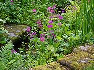Primula cadelabra in the Dingle Water Garden at Stockton Bury Gardens, Kimbolton, Leominster, Herefordshire, UK