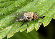 Close-up of a Cluster fly (Pollenia rudis) resting on a leaf in an open woodland habitat in Norfolk in summer.