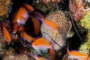 yellowmargin moray eel, Gymnothorax flavimarginatus, and bicolor anthias, Pseudanthias bicolor, Honokohau, Kona, Hawaii Island ( the Big Island ), Hawaii, USA ( Central Pacific Ocean )