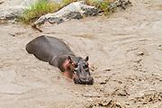 A herd of hippopotamus in a river at Serengeti National Park, Tanzania