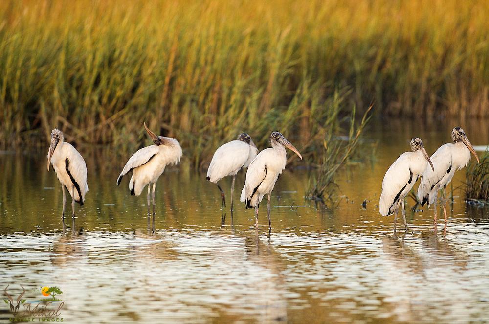 Woodstorks standing in calm water in marsh