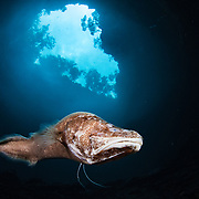 An almost blind Bahamas Cave Fish (Lucifuga) survives just fine in the darkness of deep blue hole.