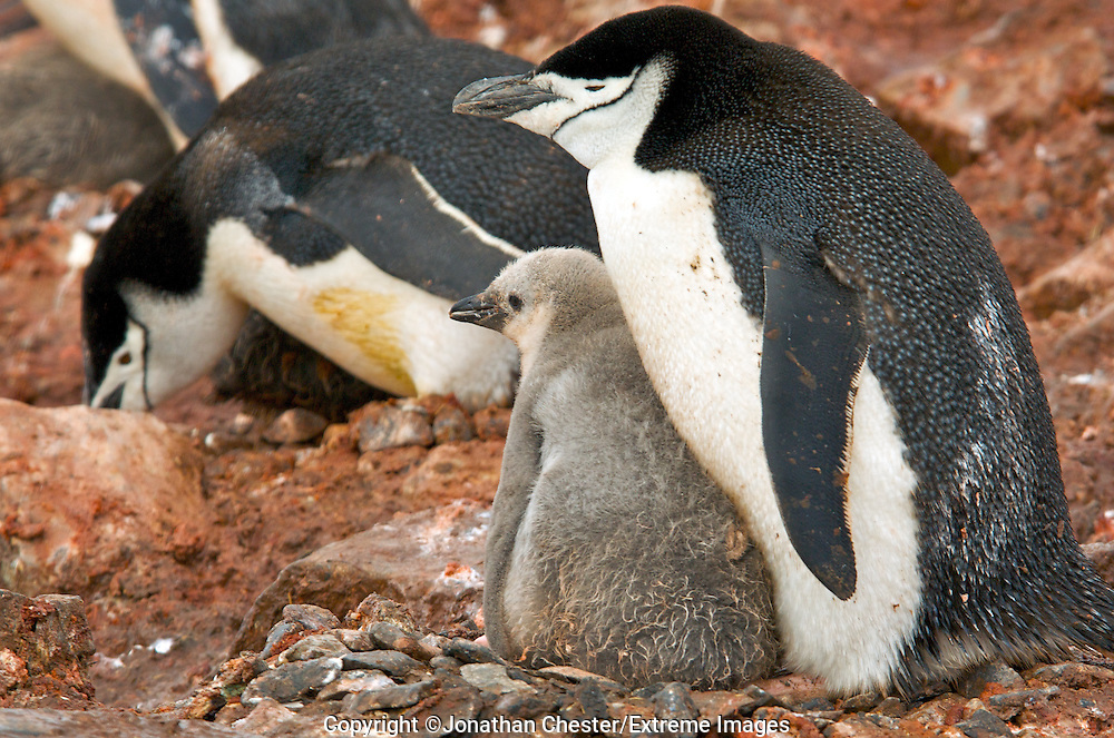 Chinstrap Penguin,Pygoscelis,antarctica, also called a brush tailed penguin they live in Antarctica, mostly on islands within the Antarctic Convergence and on the, Antarctic Peninsula.