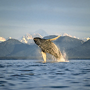 Humpback Whales - Other Behaviour