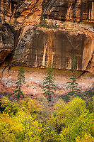 Three pine trees stand above the rest of the Fall colors at the base of the towering sandstone walls of Zion National Park in Utah. (Vertical Orientation)
